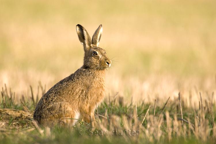 hare-2