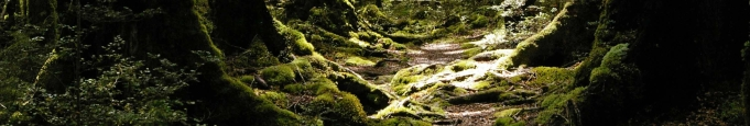 Beech forest with moss